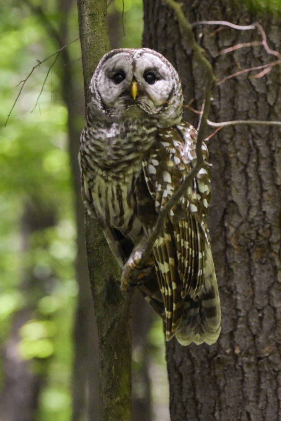 Female Barred Owl perched in tree