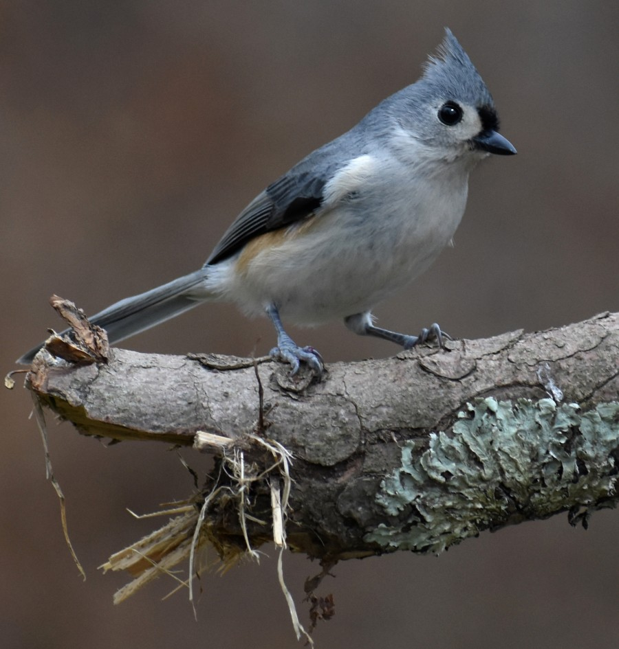 Tufted Titmouse perched on a broken branch