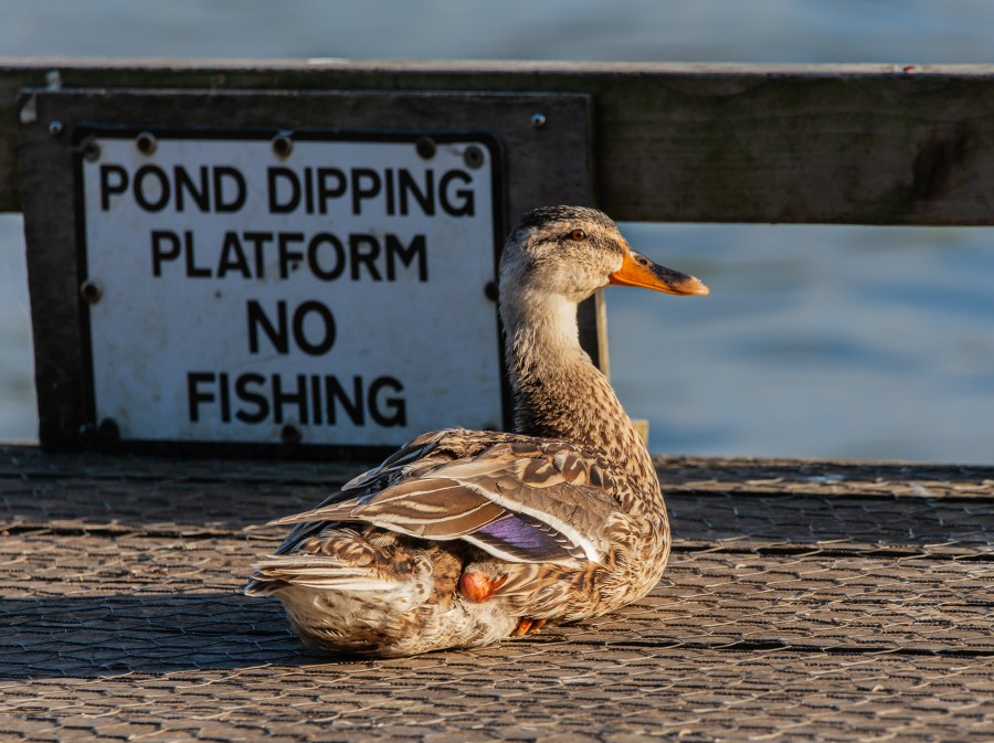 Duck by no fishing sign