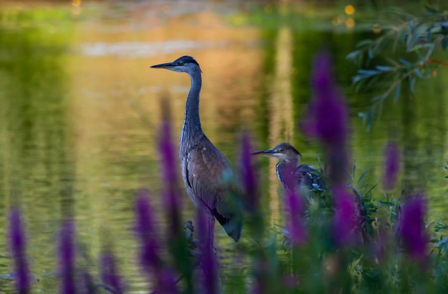 2 herons watching