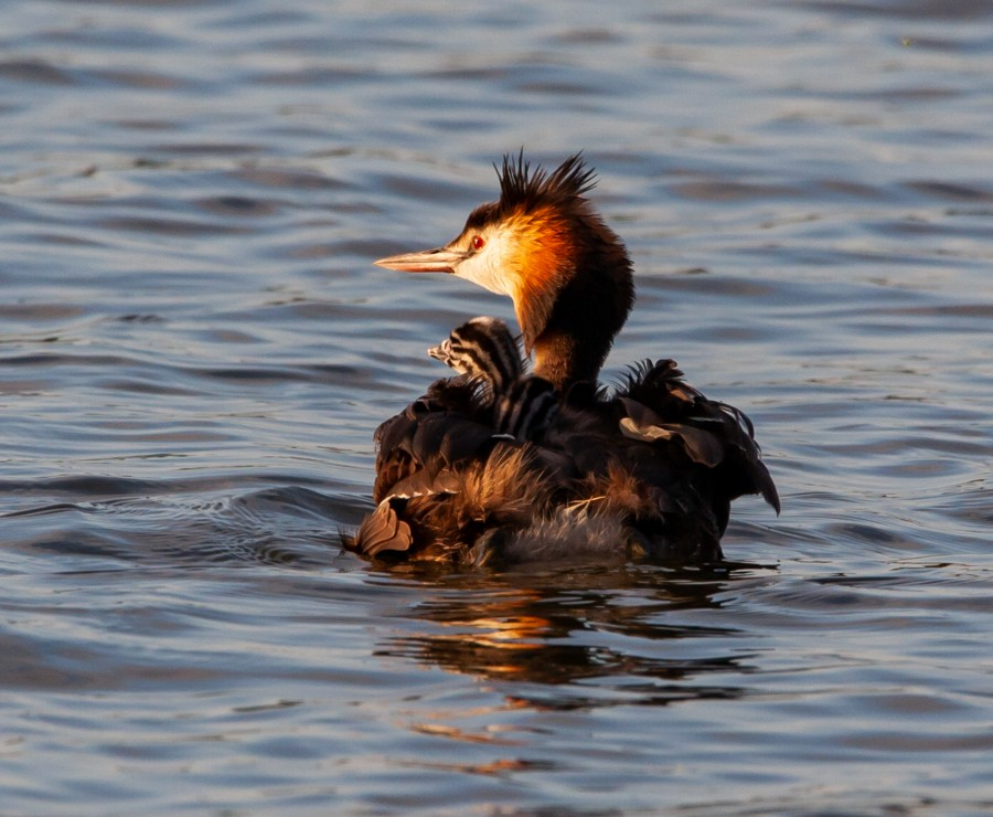 Crested grebe in sunshine