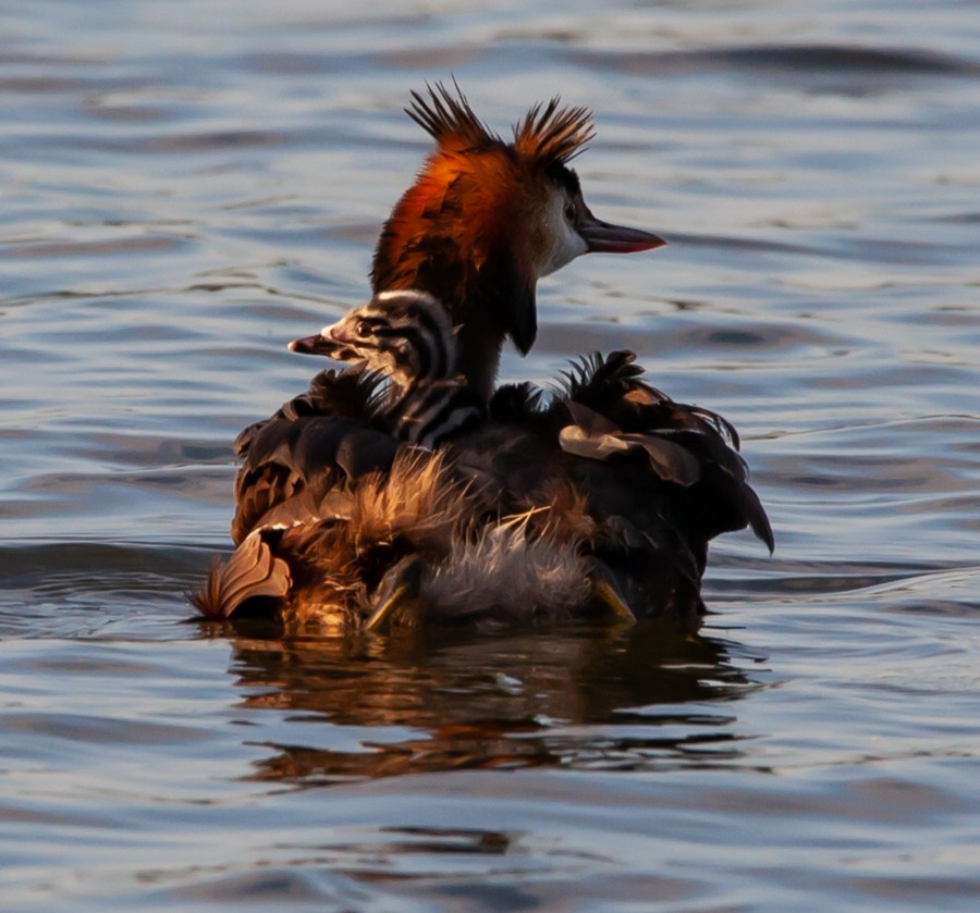 Crested grebe with baby on its back