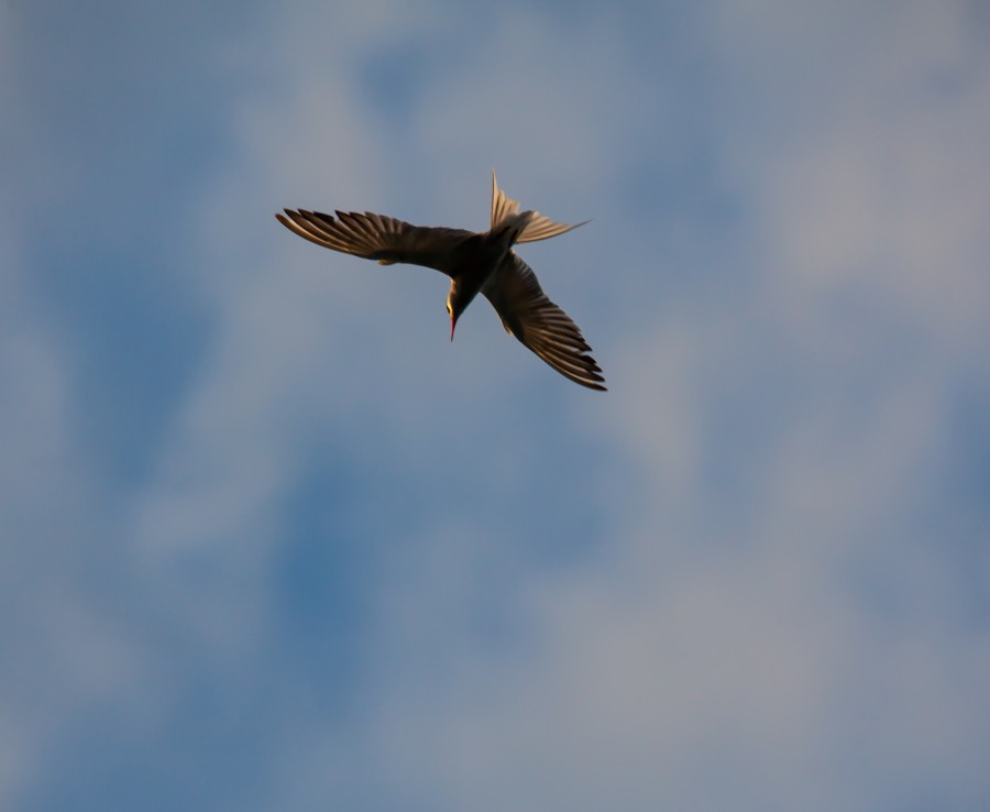 Arctic tern overhead