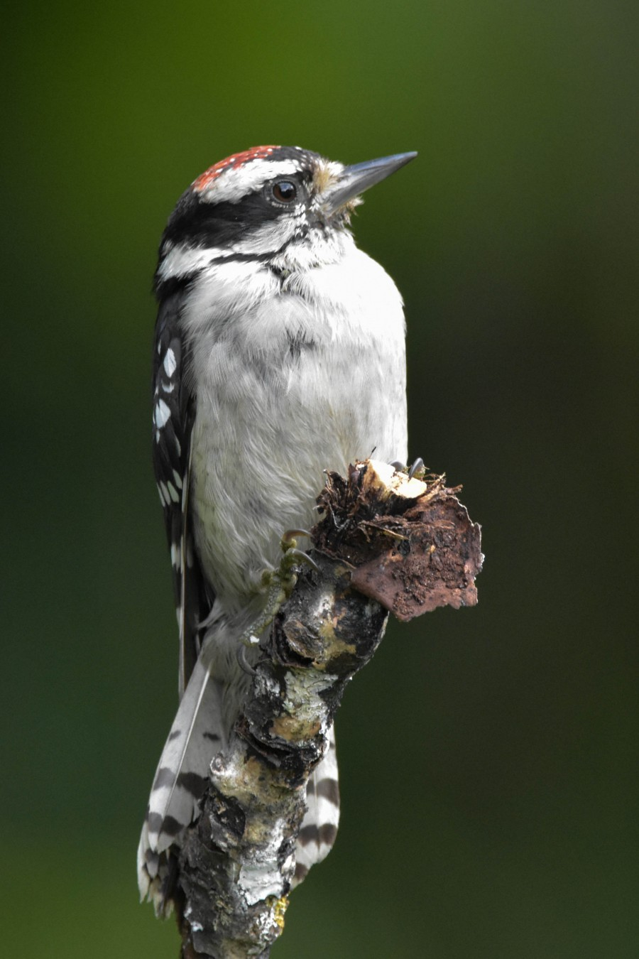 Male Juvenile Downy Woodpecker Closeup