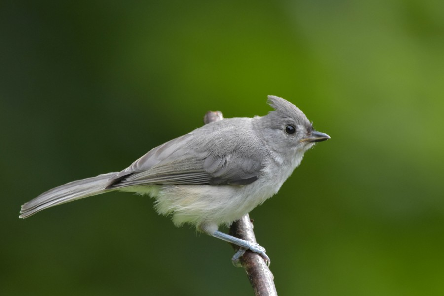 Juvenile Tufted Titmouse exploring the big world