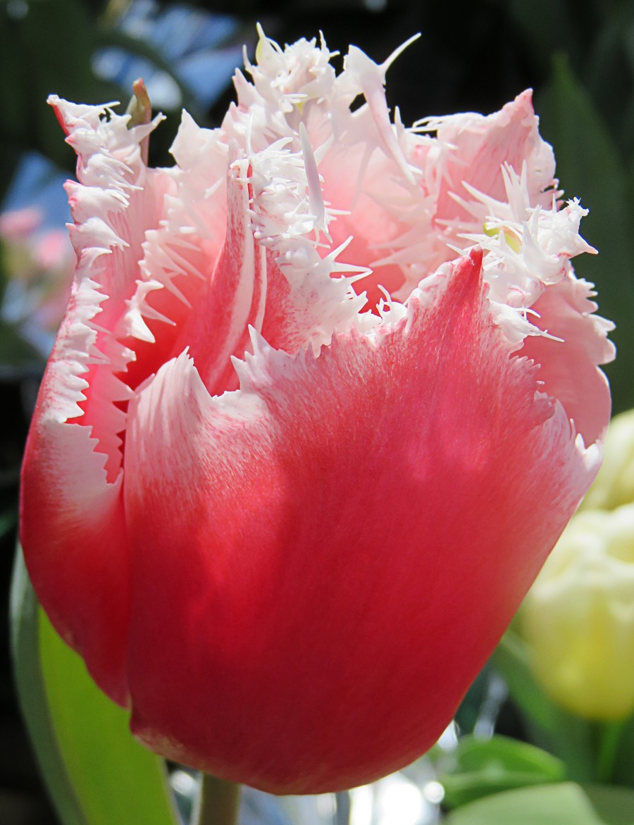 pink-and-white fringed tulip